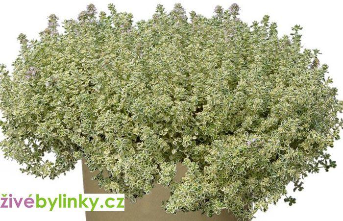 Izraelský bílý tymián (Thymus spp. ´Sparkling Bright´) - NOVINKA JARO 2021