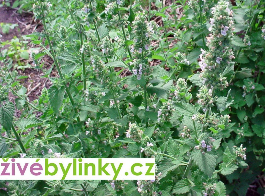 Jablečník obecný (Marrubium vulgare)