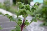 Kadidlovník s vůní kadidla a růží (Ibozea species) - RARITA z Jižní Afriky