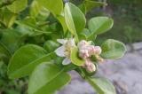Kafrová limeta, Mauricijská papeda (Citrus hystrix)