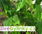 Kardamon, amon skořicový (Elettaria cardamomum)