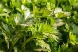 Listový jemný celer (Apium graveolens)