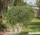 Kmínový tymián ze Sardinie (Thymus herba barona) - NOVINKA JARO 2020