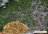 Kmínový tymián ze Sardinie (Thymus herba barona) - NOVINKA JARO 2018