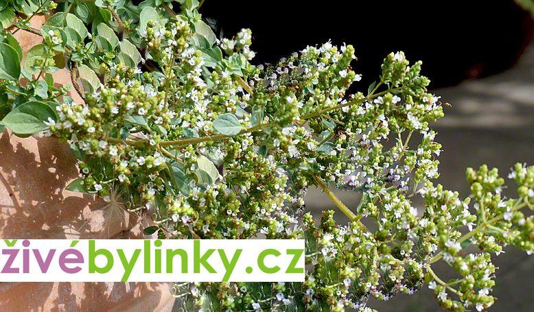Krétské oregáno (Origanum hirtum ´Kreta´)