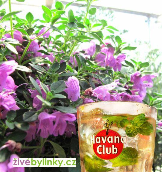 Kubánská mojito bylinka (Hesperozygis fragrant ´Midnight Mojito´) - NOVINKA JARO 2018
