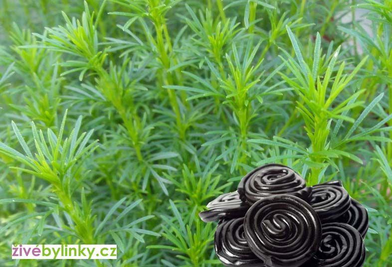 Lékořicová - pendreková bylinka (Tagetes filifolia ´Salmi´)