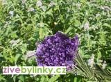 Levandulová máta (Mentha sp. ´Lavandula´)