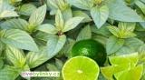 Limetková máta (Mentha piperita var. limetta)