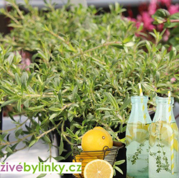 Limonádový převislý tymián (Thymus cit. 'Cascading™ Lemonade´ )