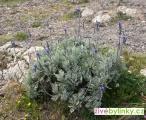 Madeirská (Kanárská) levandule (Lavandula pinnata) - RARITA A NOVINKA JARO 2018