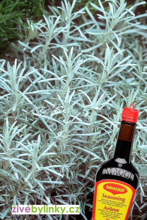 Maggi bylinka, smil italský (Helichrysum italicum)