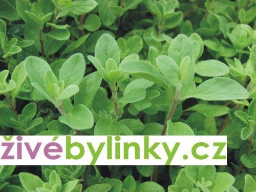 Majoránka zahradní (Majorana hortensis)