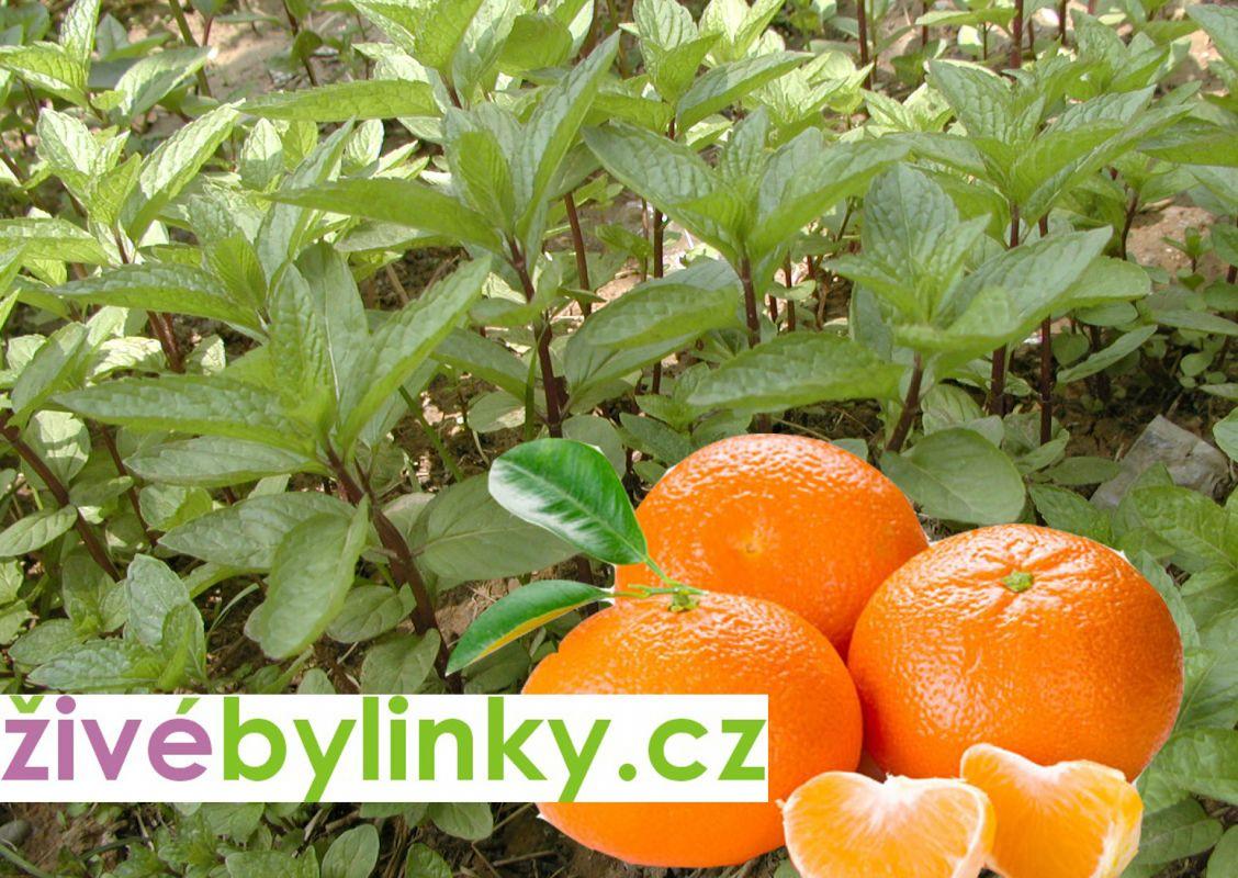 Mandarinková máta (Mentha piperita var. citrata ´Mandarinen´)