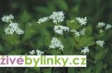 Mařinka vonná - (Galium odoratum)