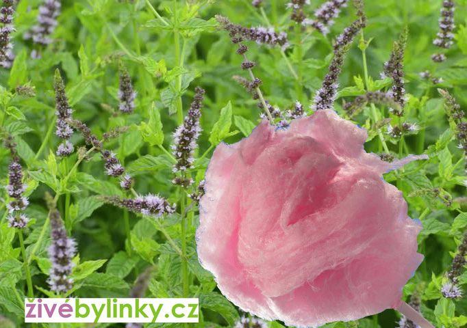 Máta s chutí cukrové vaty (Mentha sp. ´Zuckerwatte´)