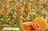 Medové Agastache (Agastache x hybrida ´Apadana Orange´) - NOVINKA JARO 2021