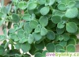 Mexická eucalyptová bylinka (Plectranthus sp.)