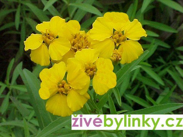 Yahutli - Mexický bylinkový afrikán (Tagetes lucida ´Seasons taragon´ - NOVINKA JARO 2021