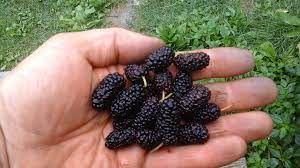Moruše černá zakrslá (Morus nigra ´Illinois Everbearing´)