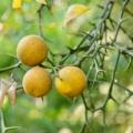 "Mrazuodolný ""citroník"" - citronečník trojlistý (Poncirus trifoliata)"