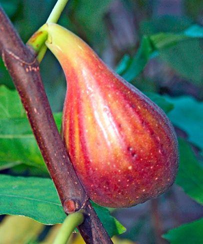 Mrazuodolný fíkovník Peretta (Ficus carica ´Peretta´)