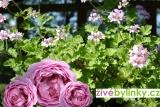 Muškát s vůní růží (Pelargonium odoratissimum ´Odorata Rose´)