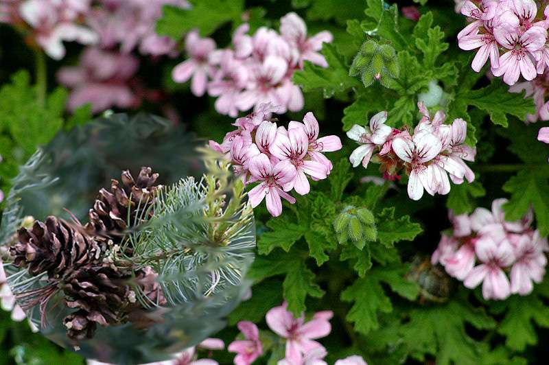 Muškát s vůní borovice (Pelargonium odoratissimum ´Odorata Pino´)