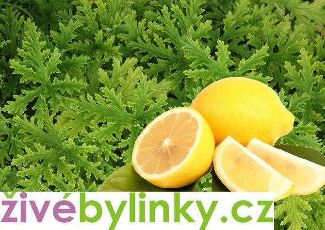 Muškát s vůní citronu (Pelargonium odoratissimum)