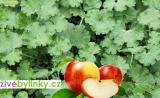 Muškát s vůní jablek (Pelargonium odoratissimum ´Odorata Apple´)