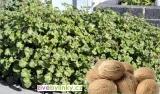 Muškát s vůní muškátového oříšku (Pelargonium odoratissimum ´Nutmeg´) - NOVINKA JARO 2020