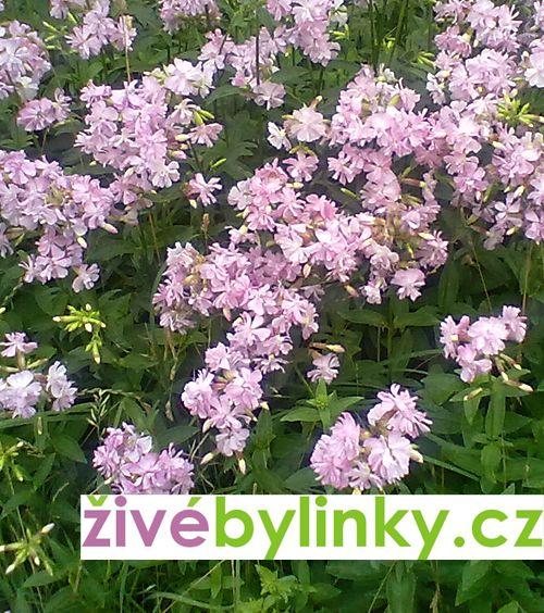 Mydlice lékařská (Saponaria officinalis)