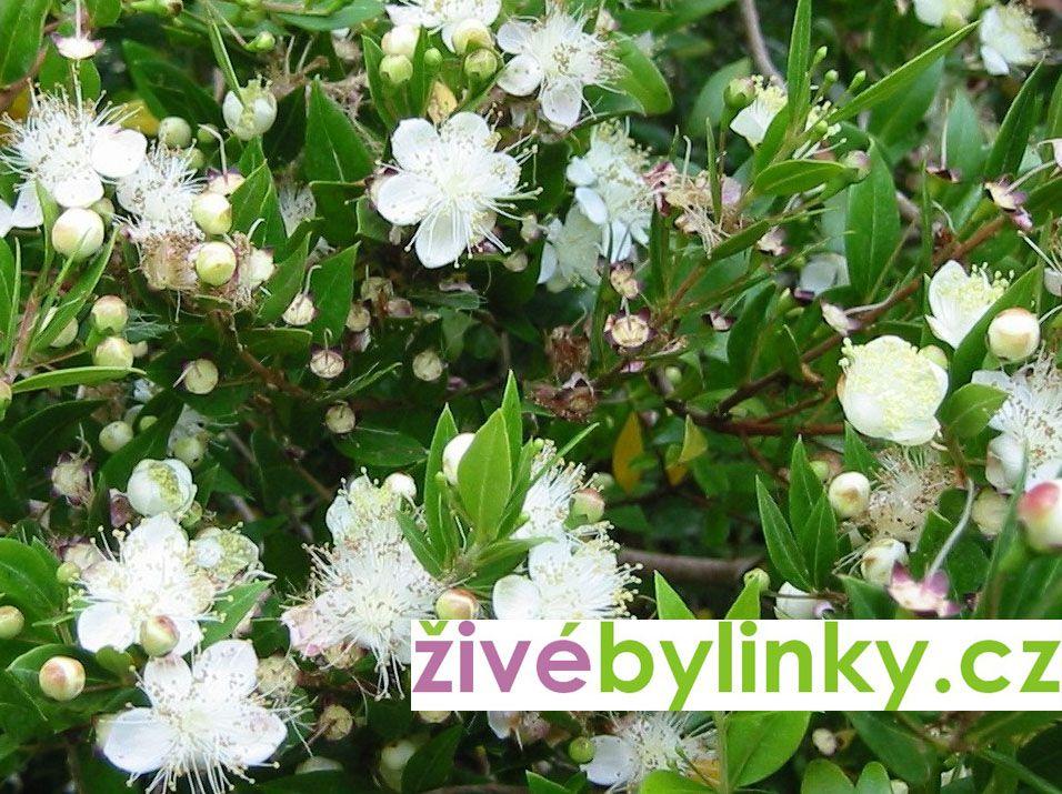 Myrta obecná (Myrthus communis)