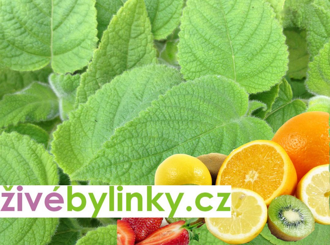 Exotická ovocná šalvěj (Salvia dorisiana)