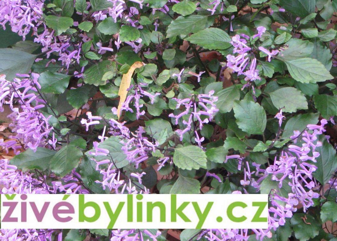 Moud kapský (Plectranthus saccatus) - Rostlina z Jižní Afriky