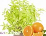 Pomerančová verbena - Aloisie (Lippia citriodora ´Golden Wind´) - NOVINKA JARO 2021