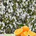 Pomerančový tymián (Thymus citriodorus ´Fragrantissimus Orange´)