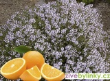 Pomerančový tymián  (Thymus citriodorus ´Fragrantissimus Orange´)