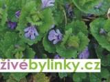 Popenec břečťanolistý (Glechoma hederacea)