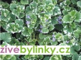 Popenec panašovaný (Glechoma hederacea ´Variegata´)