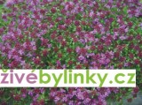 Pravá mateřídouška (Thymus serpyllum)