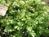 Řimbaba obecná (Pyrethrum parthenium)