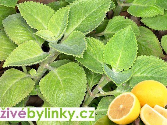 Rýmovník citronový (Plectranthus amboinicus)