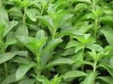 Stévie (Stevia rebaudiana ´Sugar Love´)