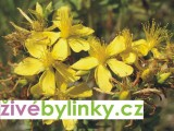 Třezalka tečkovaná (Hypericum perforatum)
