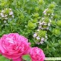 Tymián s vůní Damašské růže (Thymus spp. Rose´) - NOVINKA JARO 2020
