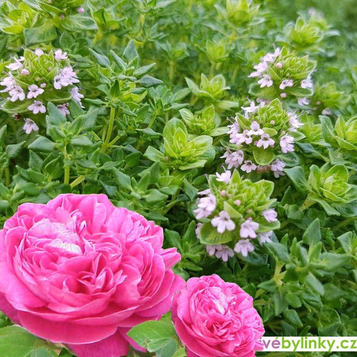 Tymián s vůní Damašské růže (Thymus spp. Rose´)