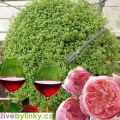 Tymián s vůní růží a vína (Thymus 'Caborn Wine And Roses'℗ ) - RARITA A NOVINKA JARO 2019
