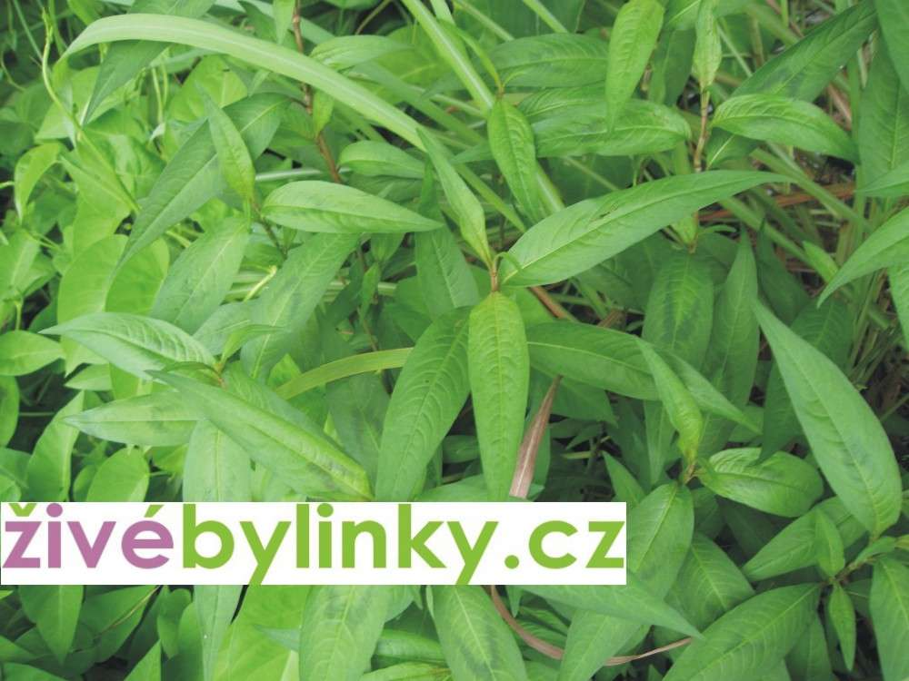 Vietnamský koriandr (Persicaria odorata)