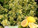 Zlatý citronový tymián  (Thymus citriodorus ´Mystic Lemon´)